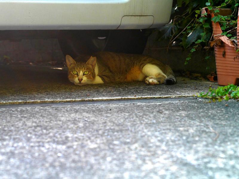 車の下のキジ白猫3