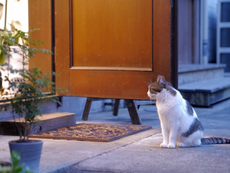 お店の灯りと白キジ猫3