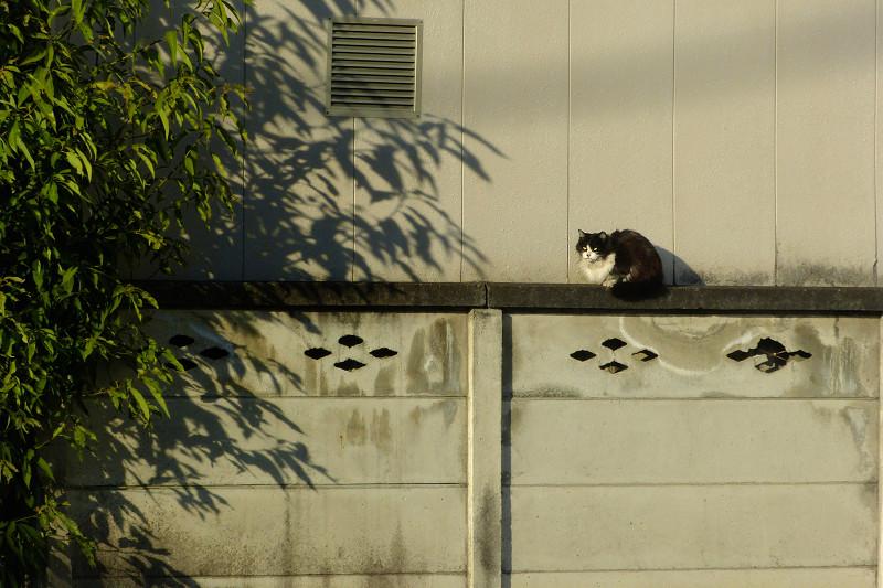 ブロック塀と夕陽と黒白猫3
