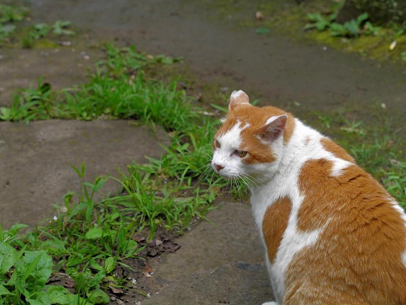 庭園の茶白猫1