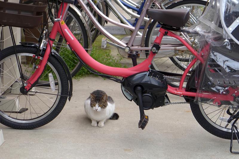 自転車とキジ白猫1