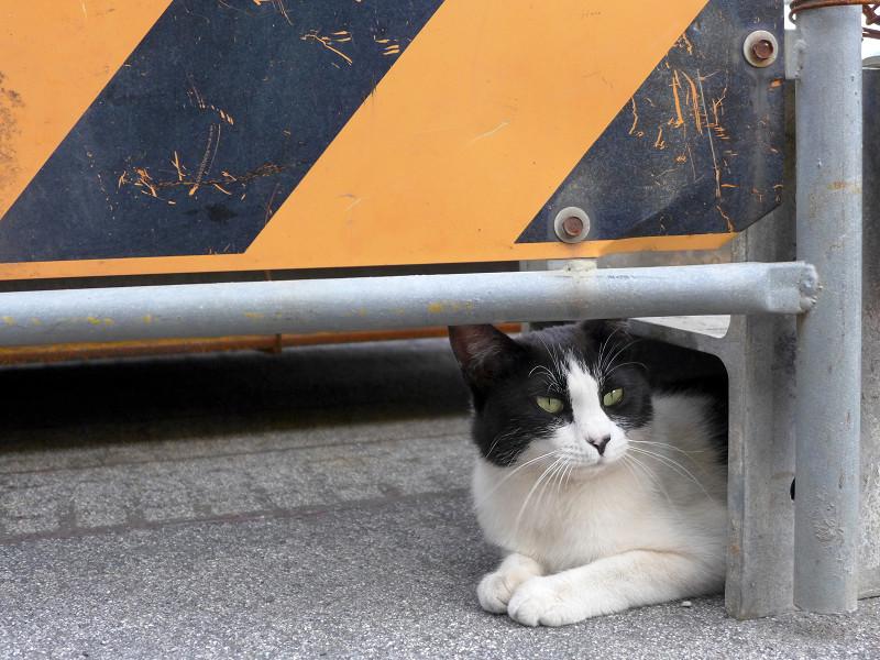 工事看板と黒白猫1