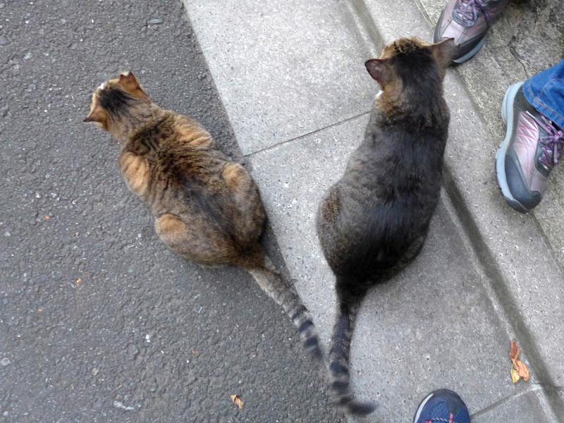 尻尾でアピールするキジ系の猫1