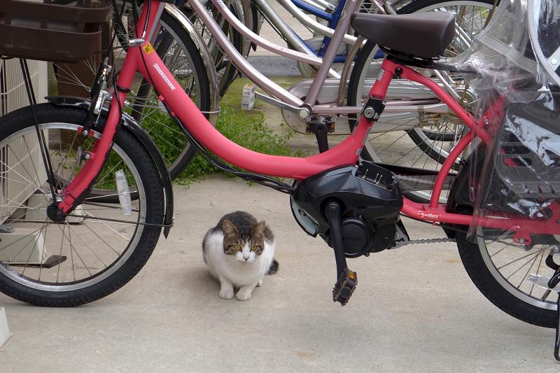 自転車とキジ白猫2