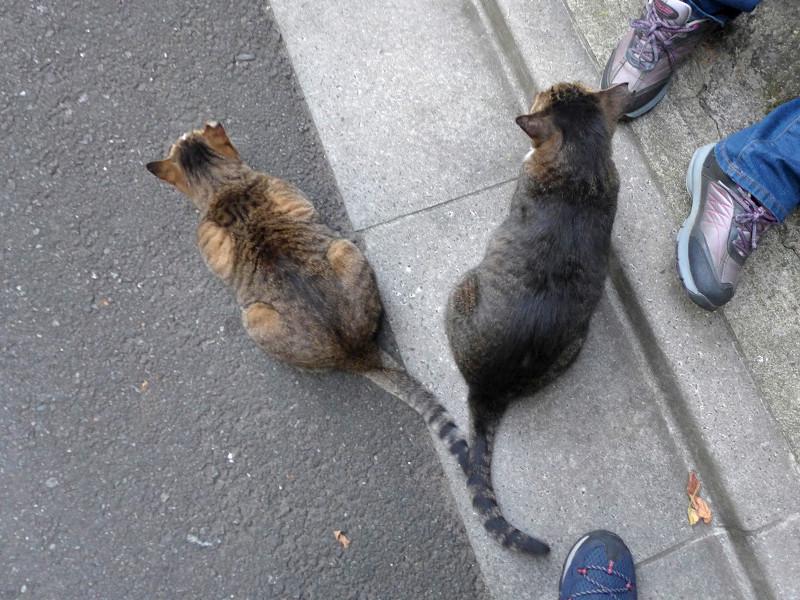 尻尾でアピールするキジ系の猫2