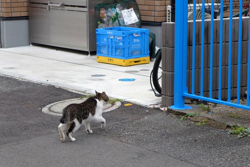 急ぎ逃げるキジ白猫