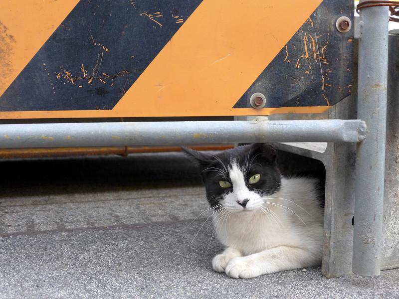 工事看板と黒白猫3