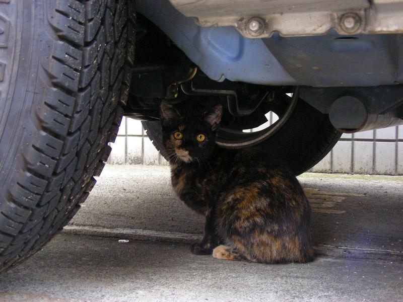 車の下のサビ柄猫1
