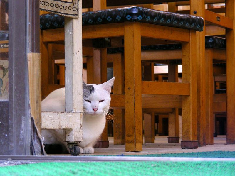 椅子と白キジ猫1