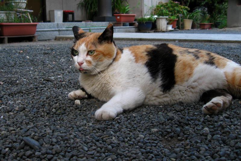 玉砂利に腹ばう三毛猫1