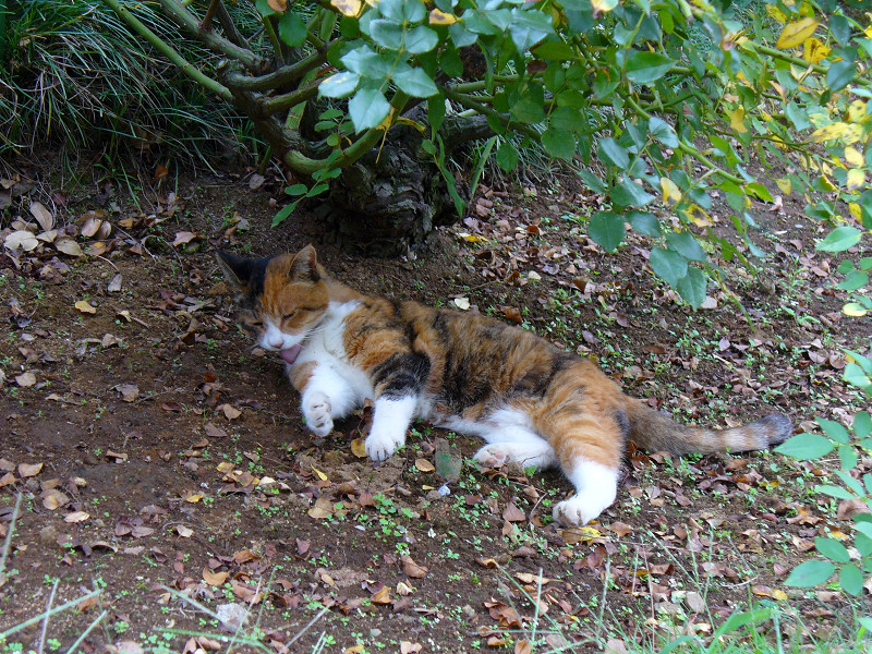 木陰で目覚めた三毛猫1