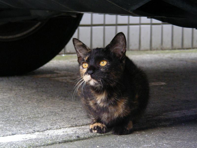 車の下のサビ柄猫2