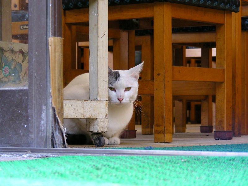 椅子と白キジ猫2