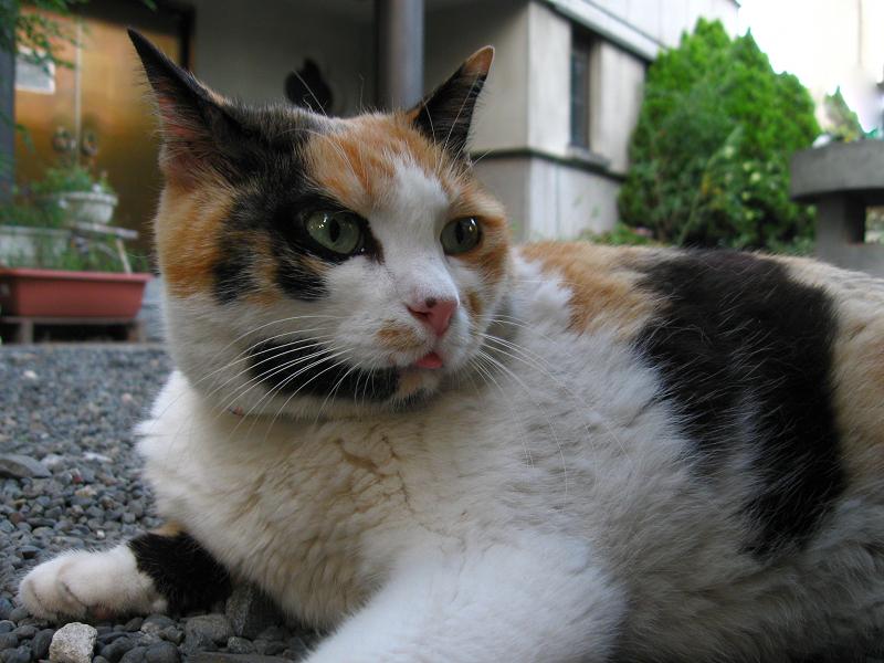 玉砂利に腹ばう三毛猫2