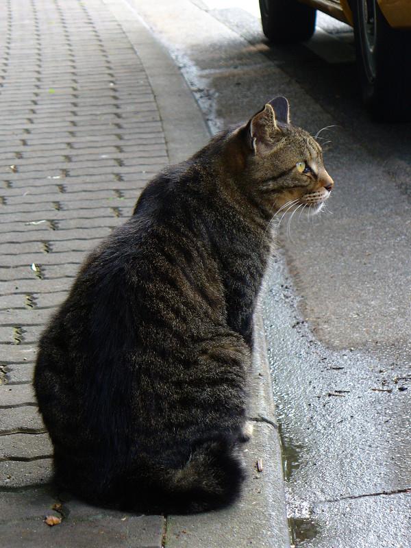 歩道とキジトラ猫2