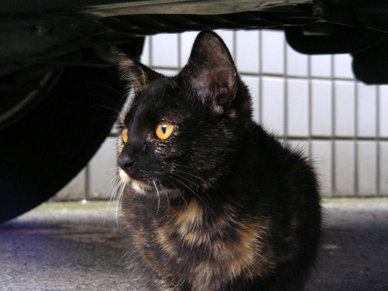 車の下のサビ柄猫3