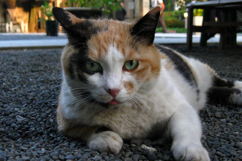 玉砂利に腹ばう三毛猫3
