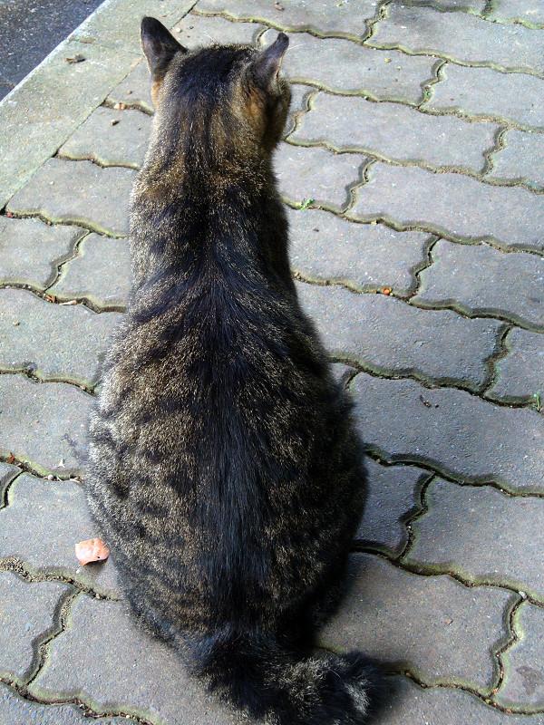 歩道とキジトラ猫3