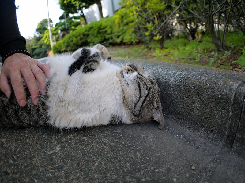 縁石仰向けキジ白猫2