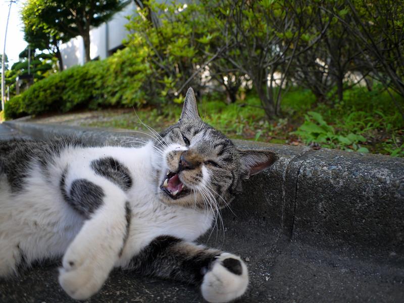 縁石仰向けキジ白猫3