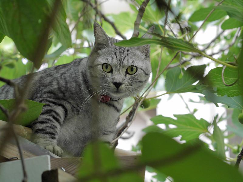 葉っぱの間から見つめるサバトラ猫
