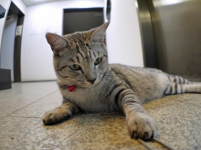 お堂で腹ばってるサバトラ猫1