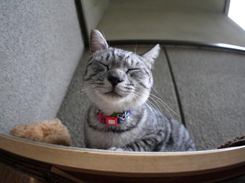 サバトラ猫ローアングル