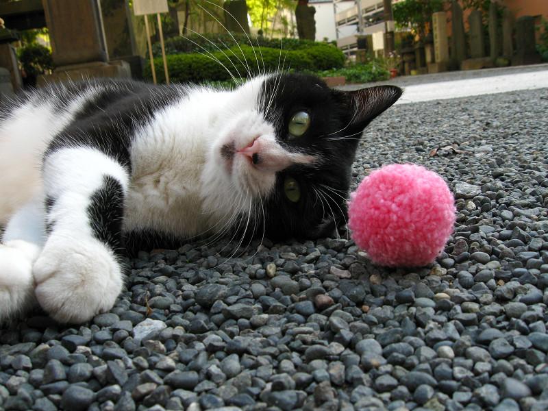 桃色のボールと黒白猫3