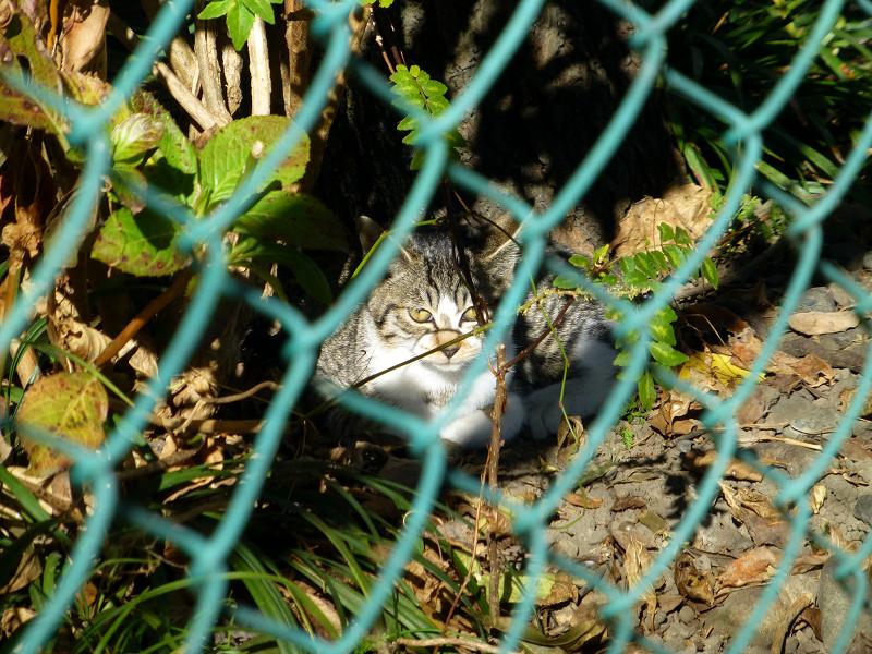 金網とキジ白猫1