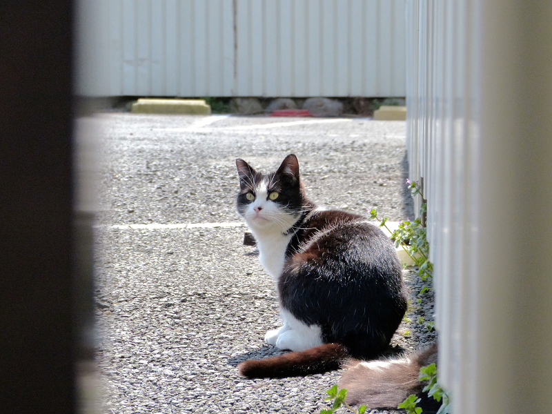 振り向きカキカキ黒白猫1