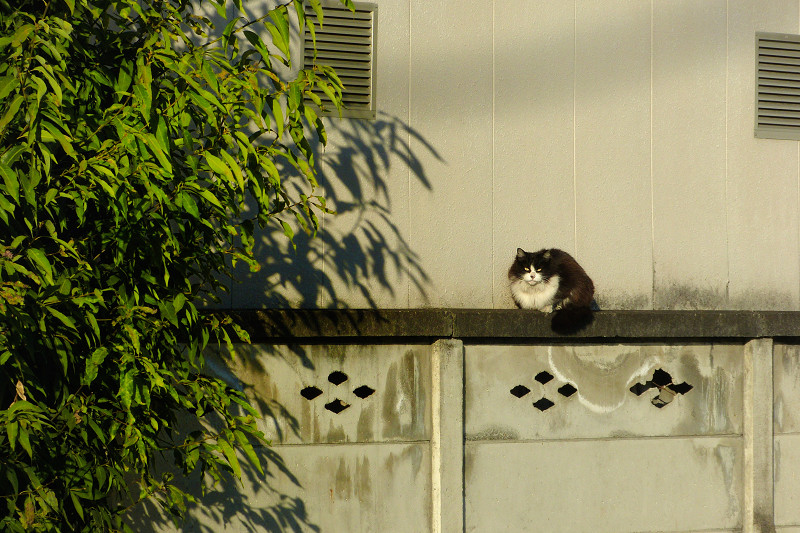 ブロック塀で佇む黒白猫1