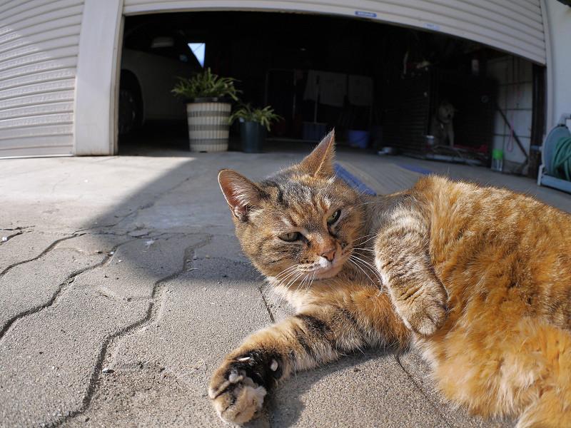 触られながら見ているサビ柄猫1