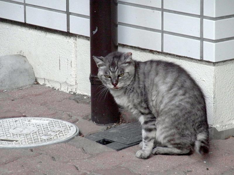 毛繕いしてる猫1
