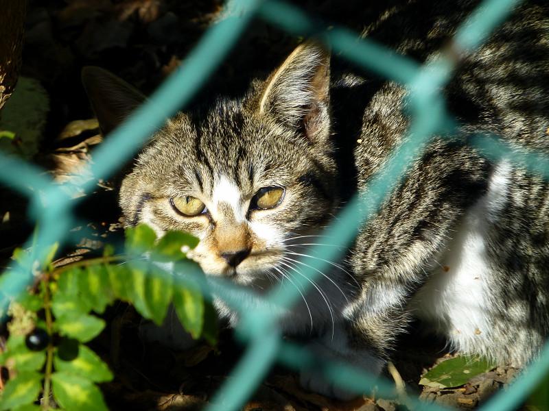 金網とキジ白猫2