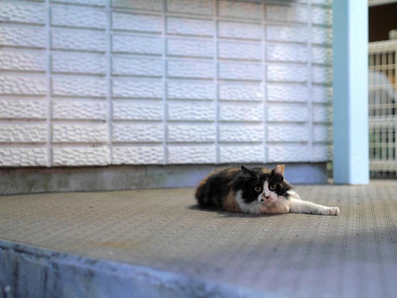 階段の下で横たわる毛が長い三毛猫2