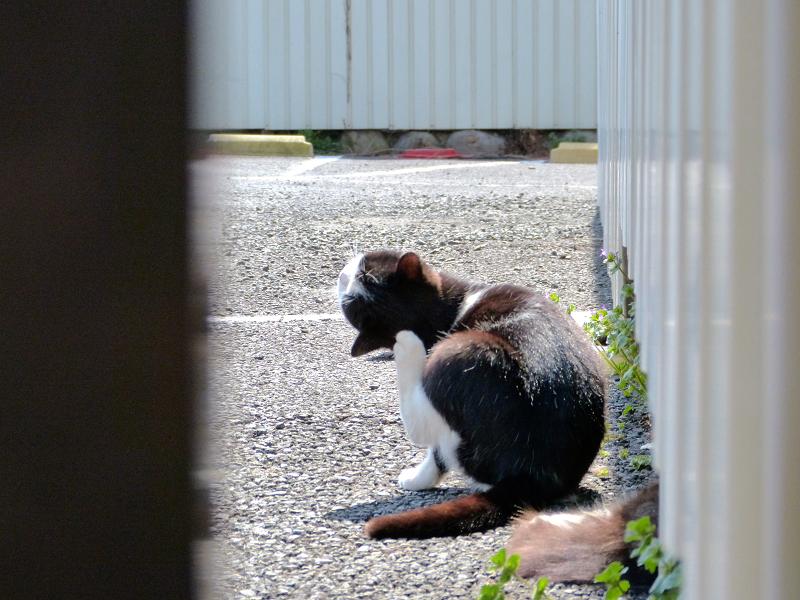 振り向きカキカキ黒白猫2