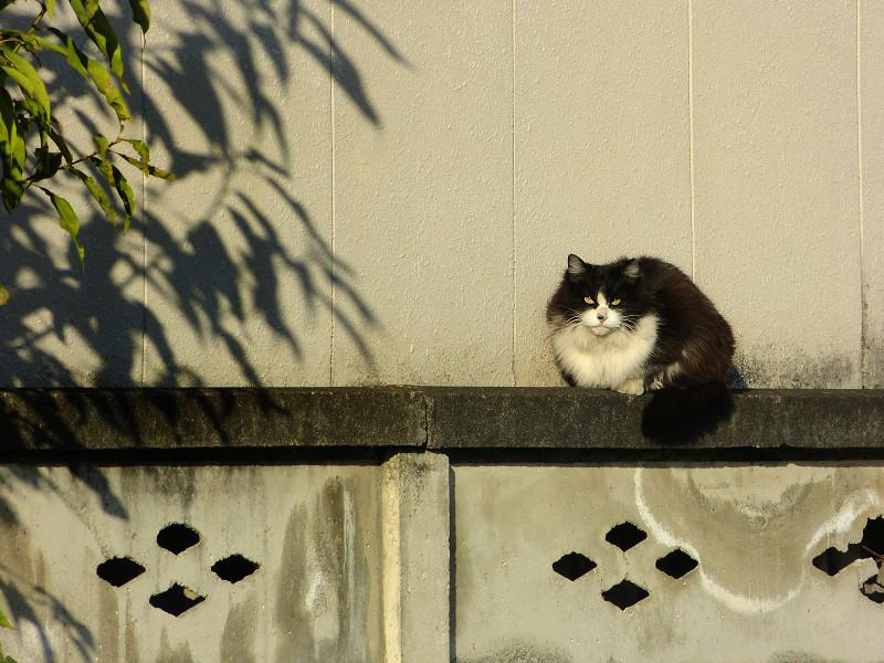 ブロック塀で佇む黒白猫2