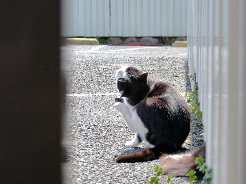 振り向きカキカキ黒白猫3