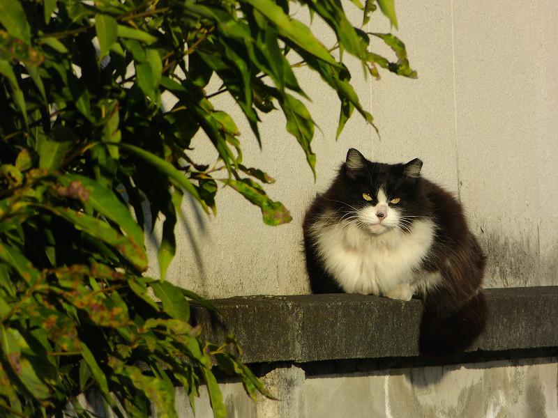 ブロック塀で佇む黒白猫3