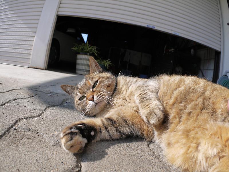 触られながら見ているサビ柄猫3