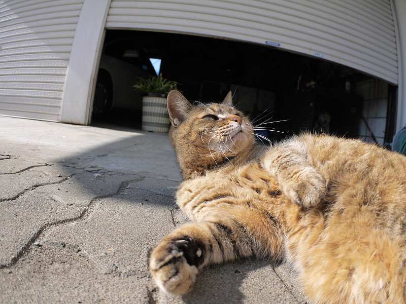 触られながら見ているサビ柄猫4