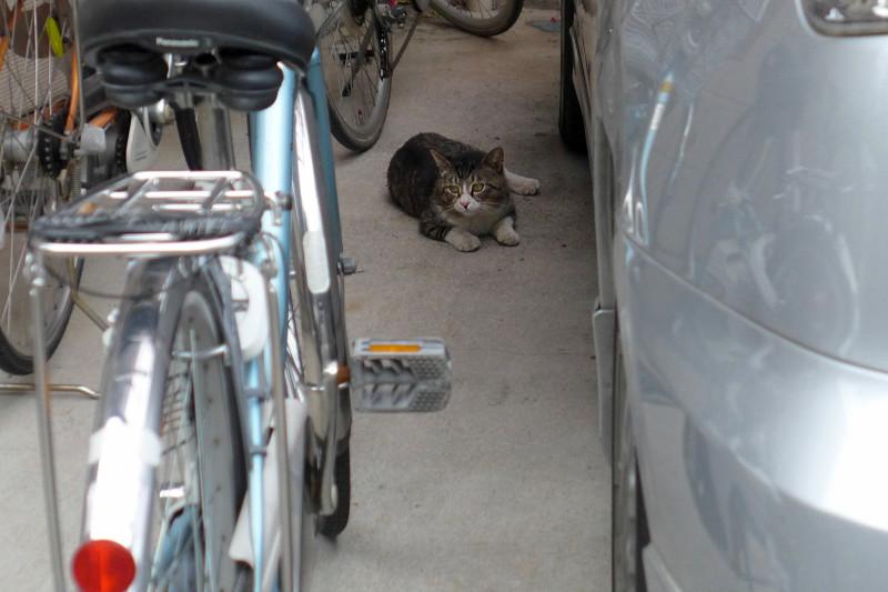民家のガレージのキジ白猫1