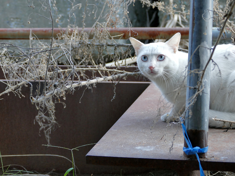 鉄板の上の白猫1