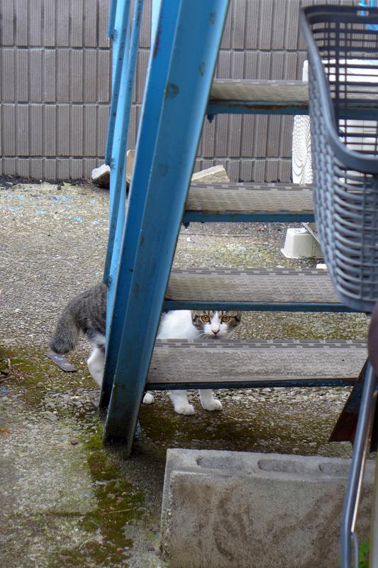 逃げているキジ白猫2