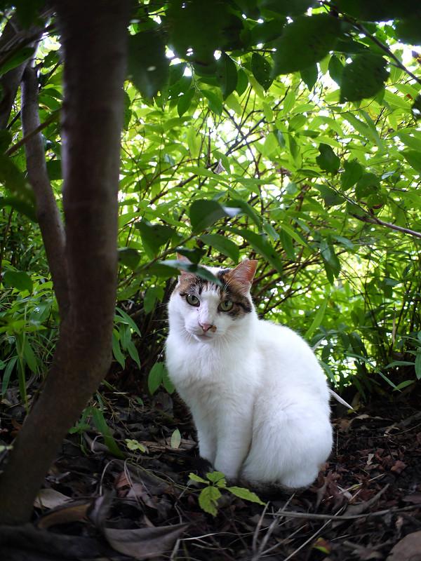 低木の下の白三毛猫2