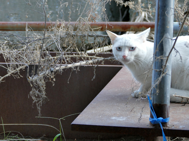 鉄板の上の白猫2