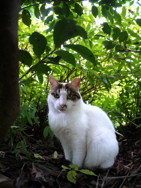 低木の下の白三毛猫3