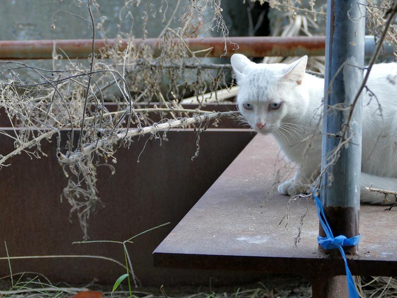 鉄板の上の白猫3