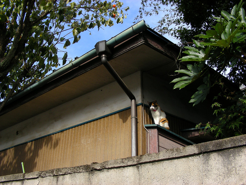 民家壁横の三毛猫1