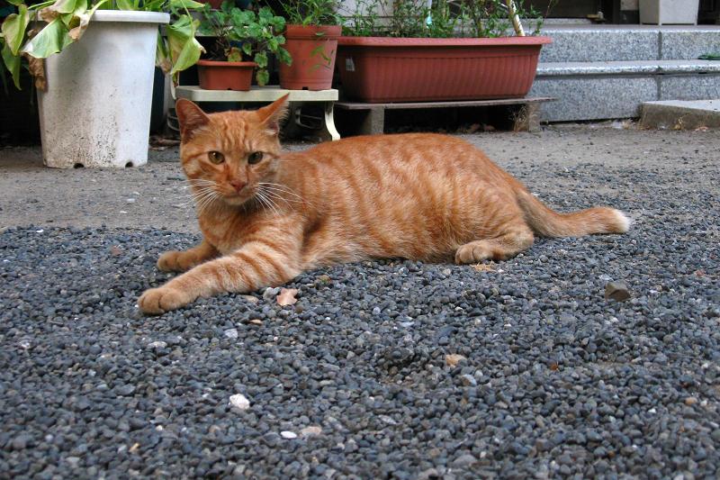 玉砂利に腹ばう茶トラ猫1